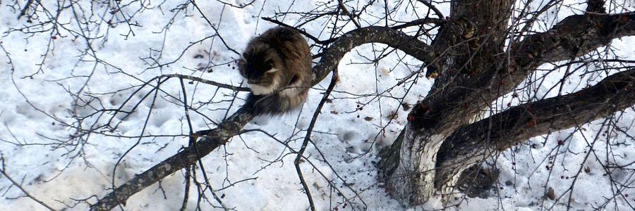 Весна пришла – на деревьях коты распустились